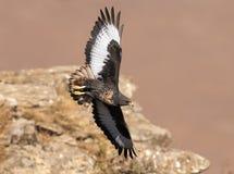 通过峭壁表面的非洲狐狼肉食飞行 库存照片
