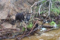 通过河的一只德国牧羊犬的小狗 图库摄影