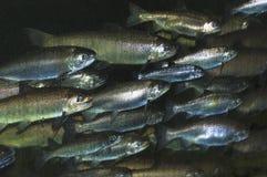 通过窗口被看见的鱼学校  免版税库存图片