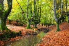 通过结构树放出在一个美丽的山毛榉森林里在秋天 免版税库存图片
