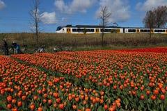 通过花田的火车驱动在荷兰 免版税库存照片