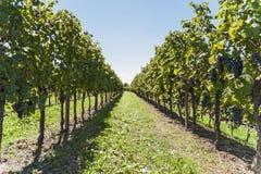 通过葡萄树行与束的红葡萄酒 免版税库存图片