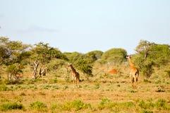 通过走几头的长颈鹿 库存照片
