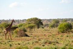 通过走几头的长颈鹿 免版税库存图片