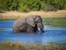 通过趟过和喝从河水,徒步旅行队的巨大的非洲大象公牛在Moremi NP,博茨瓦纳 库存照片