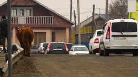 通过路的母牛和汽车 股票视频