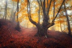 通过雾的一个神奇黑暗的老森林落后 秋天 免版税库存图片