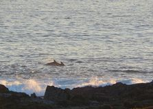 通过靠近岸的海豚晚上 免版税库存图片