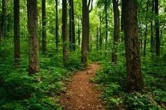 通过高大的树木落后在一个豪华的森林, Shenandoah全国P里 免版税库存照片