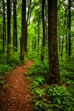 通过高大的树木落后在一个豪华的森林, Shenandoah国家公园里 库存图片