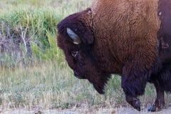 通过紧密与蹄的北美野牛被举 图库摄影
