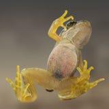通过玻璃从下面被采取的一只共同的青蛙 库存照片
