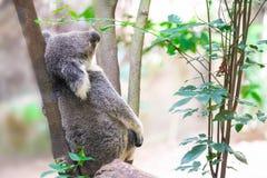 通配上升的考拉的结构树 免版税库存图片
