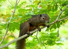 通配亚洲大蕉的灰鼠 图库摄影