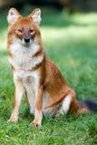 通配亚洲的狗 免版税库存照片
