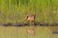通配亚洲的狗 免版税库存图片
