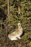 通配兔宝宝野兔相对的showshoe 免版税库存照片