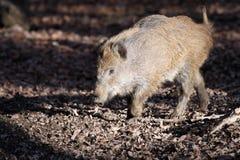 通配公猪的小猪 库存照片