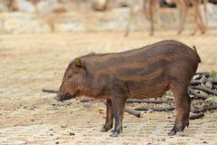 通配公猪的小猪 免版税图库摄影