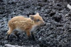 通配公猪的小猪 免版税库存图片