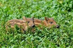 通配公猪的小猪 库存图片