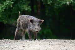 通配公猪的森林 免版税库存图片
