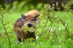 通配公猪的森林 库存图片