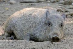 通配公猪的泥 库存照片