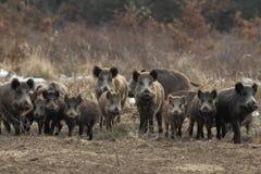 通配公猪的牧群 免版税库存照片
