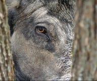 通配公猪的眼睛 库存图片