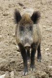 通配公猪的纵向 库存照片
