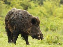 通配公猪的象牙 库存图片