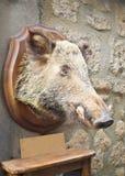 通配公猪顶头的分级显示 免版税图库摄影
