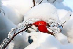 通配冻结的玫瑰 免版税库存照片