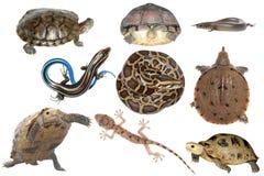 通配动物收集的爬行动物 库存照片