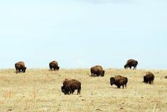 通配北美野牛的牧群 免版税图库摄影
