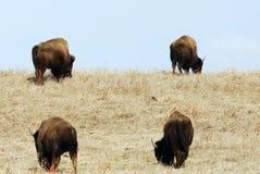 通配北美野牛的牧群 库存照片