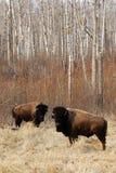 通配北美野牛的牧群 库存图片