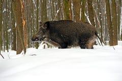 通配区公猪本质俄国的voronezh 库存图片