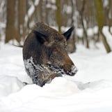 通配区公猪本质俄国的voronezh 图库摄影