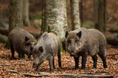 通配区公猪本质俄国的voronezh 库存照片