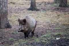通配区公猪本质俄国的voronezh 免版税图库摄影