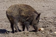 通配区公猪本质俄国的voronezh 免版税库存照片