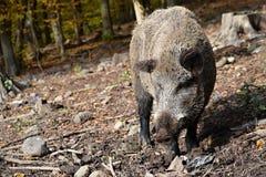 通配区公猪本质俄国的voronezh 免版税库存图片