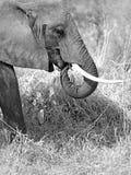 通配大象 图库摄影