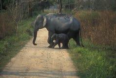 通配小牛的大象 免版税库存图片