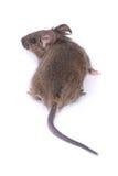 通配小的鼠标 免版税库存图片