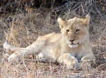 通配崽的狮子 库存图片