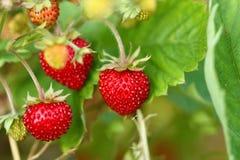 通配工厂的草莓 库存照片