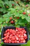 通配庭院家庭的草莓 库存照片